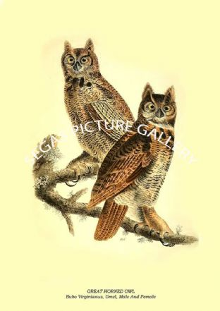 GREAT HORNED OWL - Bubo Virginianus, Gmel, Male And Female